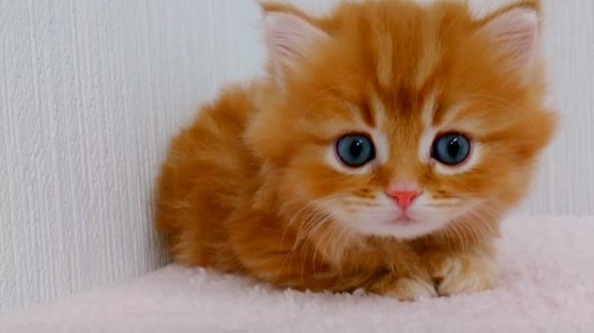 Fluffy Orange Kitten With Blue Eyes Takes Adorable To The